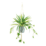 Spider plant in pot, with rope hanger H: 90cm Color: green