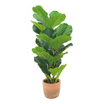 Fiddle fig tree in cement pot, with 26 leaves, fabric &...